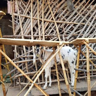 White goat with black markings, trapped in a makeshift wooden enclosure.