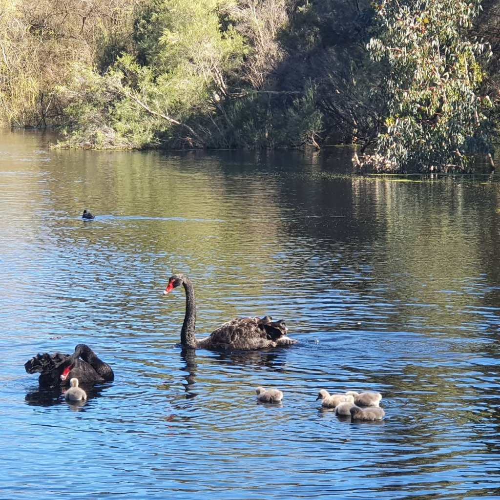 Two black swans and six cygnets, swimming on a tree-lined lake, with a duck in the background.